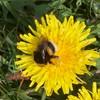 Jordhumle/Lys Jordhumle (Bombus terrestris/lucorum)