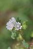 Kransblomstret Katost (Malva verticillata var. verticillata)