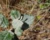 Meldug ubest. (Erysiphaceae indet.)