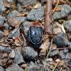 Rødbrystet Ådselbille (Oiceoptoma thoracicum)
