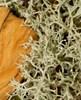 Foto/billede af Cladoniaceae - Cladoniaceae