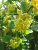 Almindelig Berberis (Berberis vulgaris)