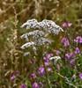 Læge-Baldrian (Valeriana officinalis)