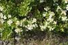 Kvalkved (Viburnum opulus)