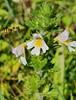 Kalk-Øjentrøst (Euphrasia rostkoviana )