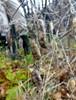 Krat-Vikke (Vicia dumetorum)
