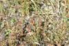 Fin Siv (Juncus capitatus)