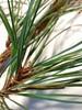 Klit-Fyr (Pinus contorta)