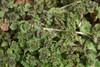 Liden Tvetand (Lamium amplexicaule)