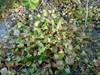 Foto/billede af Portulakfamilien - Portulacaceae