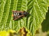 Hindbærglassværmer (Pennisetia hylaeiformis)