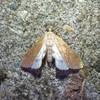 Vandpesthalvmøl (Parapoynx stratiotata)