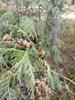 Almindelig Thuja (Thuja occidentalis)