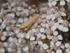 Lergul Lavspinder (Eilema lutarella)