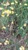 Strand-Rundbælg (Anthyllis vulneraria ssp. maritima)
