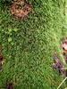 Foto/billede af Neckeraceae - Neckeraceae