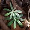 Skovmærke (Galium odoratum)