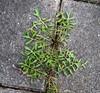 Sandsennep (Diplotaxis tenuifolia)