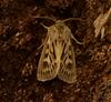Mosebunkeugle (Cerapteryx graminis)