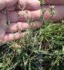 Smalbladet Hareøre (Bupleurum tenuissimum)