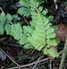 Smalbladet Mangeløv (Dryopteris carthusiana)