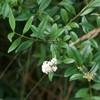 Almindelig Liguster (Ligustrum vulgare)
