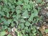 Lund-Fladstjerne (Stellaria nemorum)