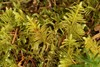 Fjer-Kammos (Ptilium crista-castrensis)