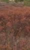 Foto/billede af Porsfamilien - Myricaceae