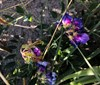 Klit-Fladbælg (Lathyrus japonicus ssp. maritimus var. acutifolius)