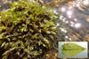 Robust Strømmos (Platyhypnidium riparioides)