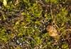 Foto/billede af Archidiaceae - Archidiaceae