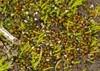 Foto/billede af Ephemeraceae - Ephemeraceae