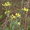 Ager-Kål (Brassica rapa ssp. campestris)