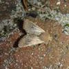 Lille Forårsugle (Orthosia cruda)
