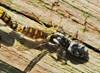 Salticus zebraneus (Salticus zebraneus)