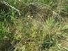 Mangeblomstret Ranunkel (Ranunculus polyanthemos ssp. polyanthemos)