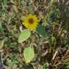 Almindelig Solsikke (Helianthus annuus)