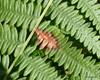 Chirosia histricina (Chirosia histricina)