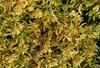 Foto/billede af Entodontaceae - Entodontaceae