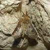 Nøgle-Landmand (Agrotis clavis)