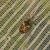 Almindelig Barktæge (Aradus depressus)
