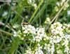 Dobbeltkæbeursommerfugl (Micropterix aruncella)