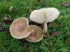 Munkehat sp. (Melanoleuca sp.)