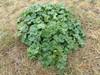 Have-Stokrose (Alcea rosea)