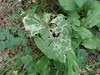 Phytomyza lappae (Phytomyza lappae)