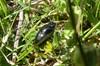 Stor Møgbille (Aphodius fossor)