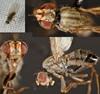 Scaptomyza pallida (Scaptomyza pallida)