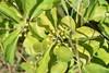 Træmorder (Celastrus orbiculatus)