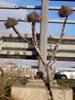 Æselfoder (Onopordum acanthium)